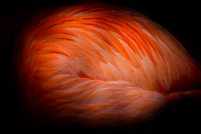 plameňák kubánský (Phoenicopterus ruber ruber)