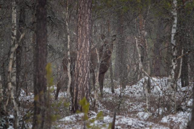 duch lesa - los evropský
